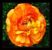 桃红色毛茛属花在黑帆布背景中 图库摄影