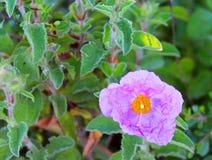 桃红色水犀科花在一个绿色草甸 图库摄影