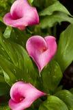桃红色水芋属lilys 免版税图库摄影