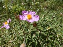 桃红色沙漠座莲在一个晴朗的夏日 图库摄影