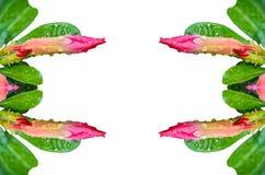 桃红色沙漠座莲的芽 库存图片