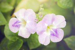 桃红色沙漠玫瑰色花& x28; 其他名字是沙漠玫瑰,假装Azale 免版税库存照片