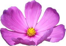 桃红色波斯菊一朵唯一花 免版税图库摄影