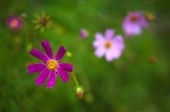 桃红色波斯菊在庭院里开花开花在夏天 库存照片
