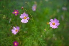 桃红色波斯菊在庭院里开花开花在夏天 库存图片