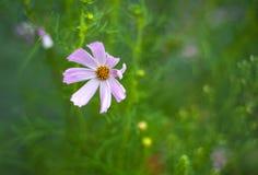 桃红色波斯菊在庭院里开花开花在夏天 免版税库存照片