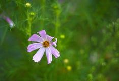 桃红色波斯菊在庭院里开花开花在夏天 免版税库存图片