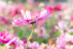 桃红色波斯菊在庭院里开花,雏菊开花花 免版税库存图片