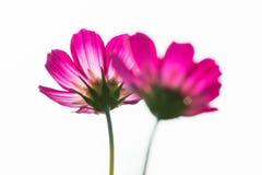 桃红色波斯菊在白色背景中 图库摄影