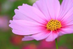 桃红色波斯菊在草甸特写镜头摄影开花早晨放松 图库摄影