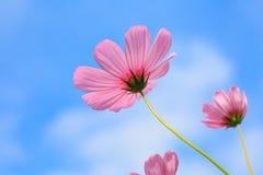 桃红色波斯菊在草甸特写镜头摄影开花早晨 免版税库存照片