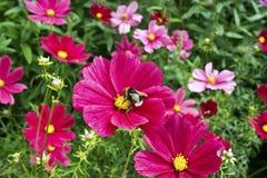 桃红色波斯菊花。 免版税库存照片