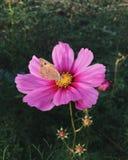 桃红色波斯菊花和蝴蝶 库存图片