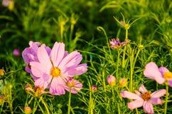 桃红色波斯菊花园 库存图片
