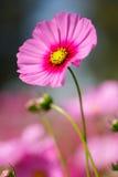 桃红色波斯菊花在室外公园 免版税库存照片