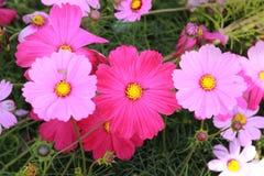 桃红色波斯菊花在庭院里 免版税库存图片