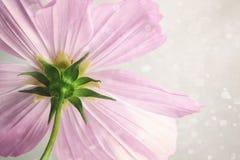 桃红色波斯菊花有软的迷离背景 库存照片