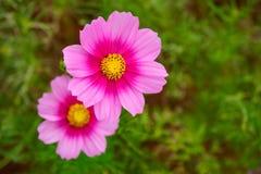 桃红色波斯菊花波斯菊Bipinnatus 免版税库存照片