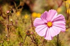 桃红色波斯菊雏菊增长作为一朵野花 库存照片
