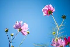 桃红色波斯菊领域有蓝天背景 免版税图库摄影