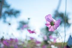桃红色波斯菊领域有蓝天背景 库存图片