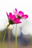 桃红色波斯菊4 库存照片