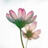 桃红色波斯菊3 库存照片