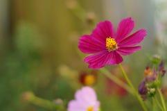 桃红色波斯菊3 库存图片