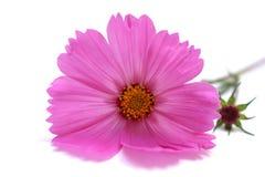 桃红色波斯菊Bipinnatus 库存图片