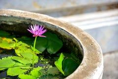 桃红色泰国莲花在池塘 库存图片