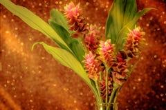 桃红色泰国郁金香或姜黄sessilis桃红色花在脉管开花 库存照片