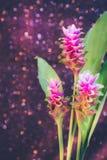 桃红色泰国郁金香或姜黄sessilis桃红色花在脉管开花 免版税库存图片