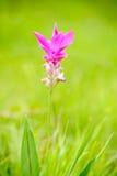 Pink siam tulip flower 免版税库存照片