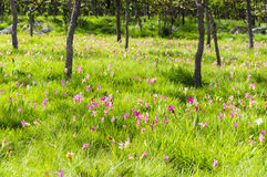 桃红色泰国郁金香领域在森林里 图库摄影