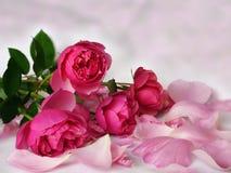 桃红色浪漫玫瑰 库存照片