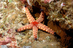 桃红色海星亚齐印度尼西亚佩戴水肺的潜水 免版税库存照片