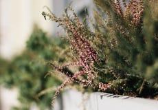 桃红色海瑟花有绿色叶子的在城市花床特写镜头 美丽的装饰绿叶和草 免版税库存图片