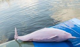 桃红色海豚 免版税库存照片