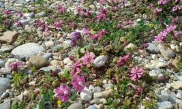 桃红色海滩花 库存图片