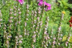 桃红色海索草或Hyssopus officinalis庭园花木 库存图片