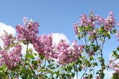 桃红色淡紫色花天空背景 库存照片