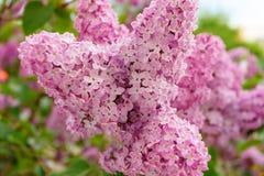 桃红色淡紫色花 免版税图库摄影