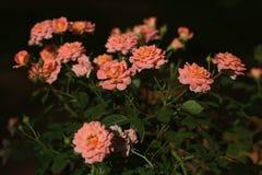 桃红色灌木玫瑰 图库摄影