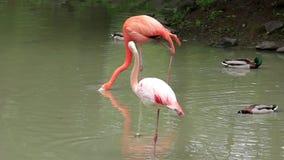 桃红色火鸟。Phoenicopteridae 影视素材