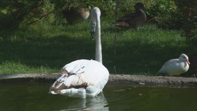 桃红色火鸟在动物园的湖 股票录像