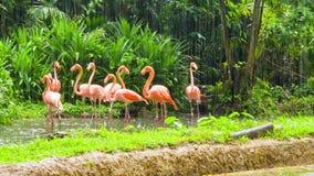桃红色火鸟在动物园里 股票视频