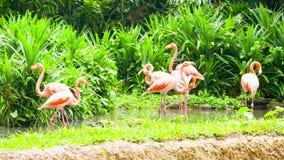 桃红色火鸟在动物园里 股票录像