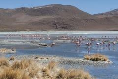 桃红色火鸟在拉古纳Chiarkota -椅子KKota 4700 mt是玻利维亚的altiplano的西南的一个浅盐湖 免版税库存图片