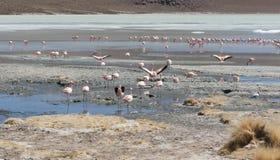 桃红色火鸟在拉古纳Chiarkota -椅子KKota 4700 mt是玻利维亚的altiplano的西南的一个浅盐湖 库存照片