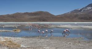 桃红色火鸟在拉古纳Chiarkota -椅子KKota 4700 mt是玻利维亚的altiplano的西南的一个浅盐湖 免版税图库摄影